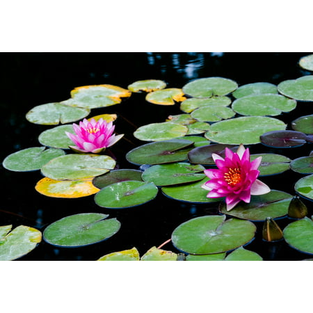 LAMINATED POSTER Water Lily Pond Water Aquatic Plant Lotus Nature Poster Print 24 x (Lodis Lily)