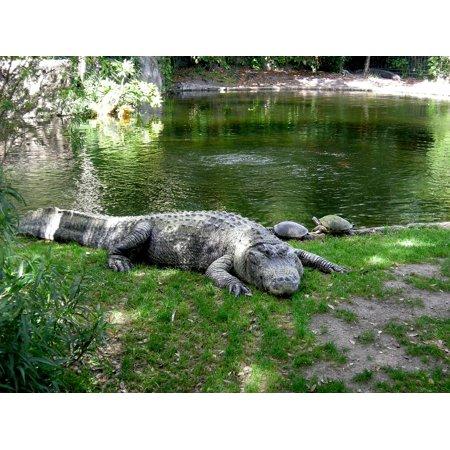 Laminated Poster Aligator Animal Busch Gardens Animals Zoo Wildlife Poster Print 11 x - Busch Gardens Halloween