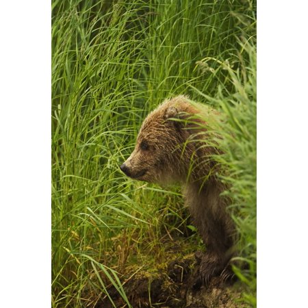 Brown Bear  Ursus Arctos  Cub Sitting On Grassy Bank Of Brooks River Katmai National Park And Preserve Southwest Alask Posterprint