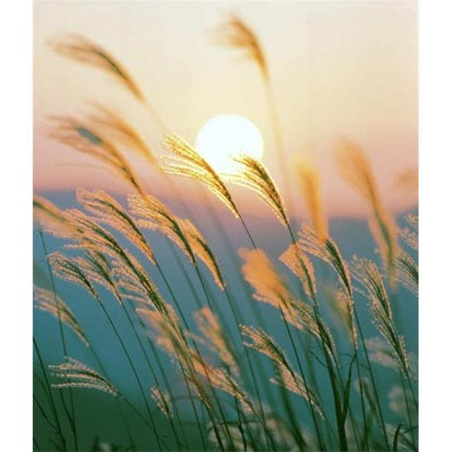 Tall Grass Silhouette Throughout Panoramic Images Ppi126925 Tall Grass With Sunset In Background Silhouette Poster Print By