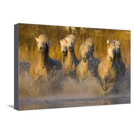 Seven White Camargue Horses Running in Water, Provence, France Stretched Canvas Print Wall Art By Jaynes Gallery ()