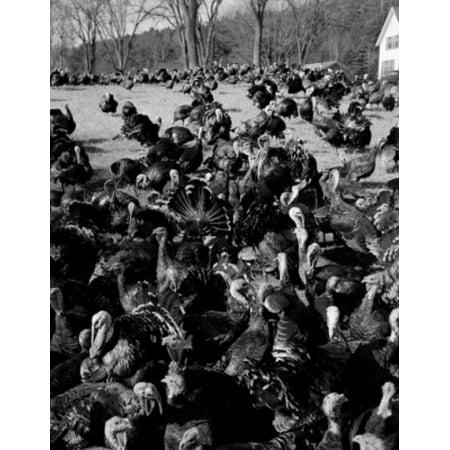 USA New Hampshire near Grafton flock of turkeys on farm Canvas Art -  (24 x 36)