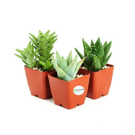 3-HRD-KIL 3 FolieraAloeThree aloe plants Hirts: ()