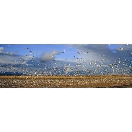 A Panoramic Of Thousands Of Migrating Snow Geese And Sandhill Cranes Taking Flight Over The Bosque Del Apache National Wildlife Refuge Near San Antonio And Socorro New Mexico Canvas Art   Panoramic Im