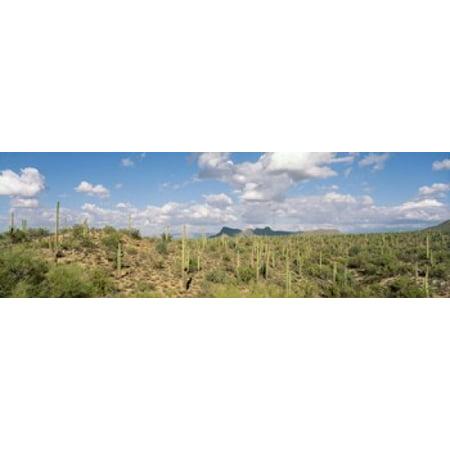 Saguaro National Park Tucson AZ USA Canvas Art - Panoramic Images (18 x 6)