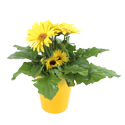 Delray Plants Live Gerbera Plant in 1-qt. Decor Pot