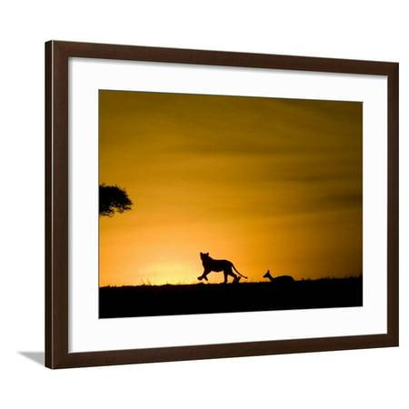 African Lion Chasing Gazelle, Masai Mara, Kenya Framed Print Wall Art By Joe (Gazelle Frame Size)