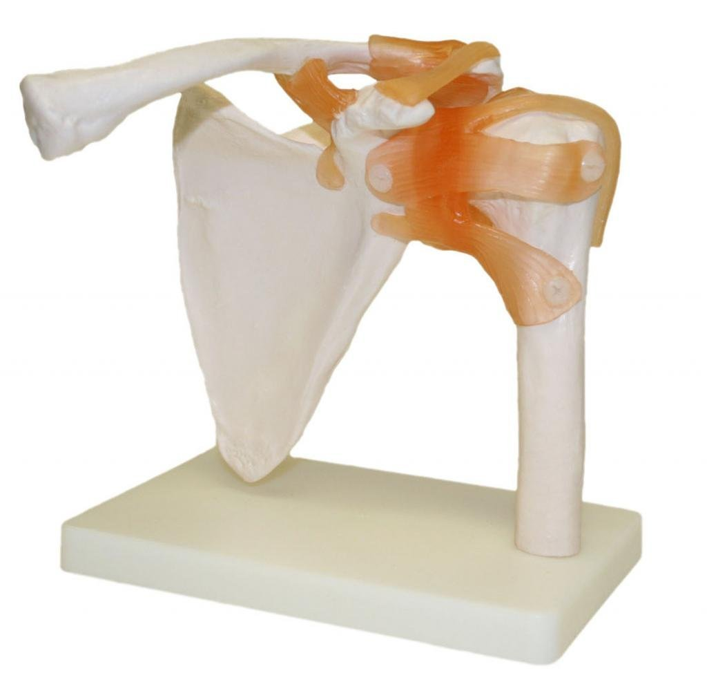 Vision Scientific Shoulder Joint Model