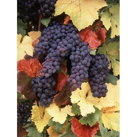- Pinot Noir Grape, Close-Up, Willamette Valley, Oregon, USA Print Wall Art By Stuart Westmorland