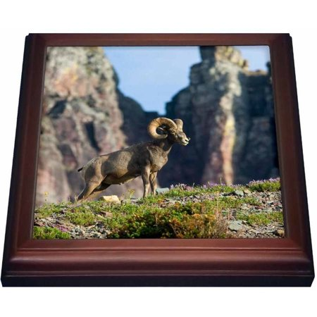 3dRose Bighorn sheep ram, Logan Pass, Glacier NP, Montana - US27 CHA0987 - Chuck Haney, Trivet with Ceramic Tile, 8 by 8-inch