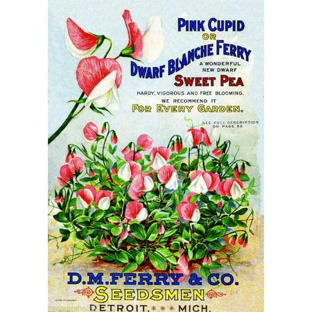 Sweet Pea Wedding Flowers - Pink Cupid Sweet Pea Vintage Flowers Seed Packet Catalogue Advertisement Poster