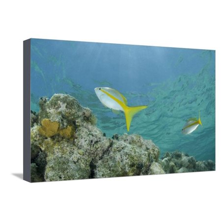 Yellowtail Snapper, Half Moon Caye, Lighthouse Reef, Atoll, Belize Stretched Canvas Print Wall Art By Pete Oxford
