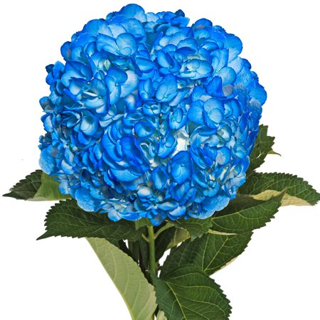 Image of Fresh Cut Airbrushed Dark Blue Hydrangeas, Pack of 15 by InBloom Group