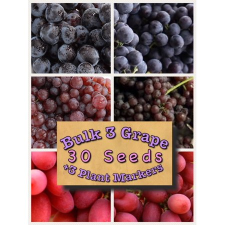 Bulk 3 Grape Vine Seeds Bunch, Concord 30 Seeds + 3 Plant (Best Outdoor Vine Plants)