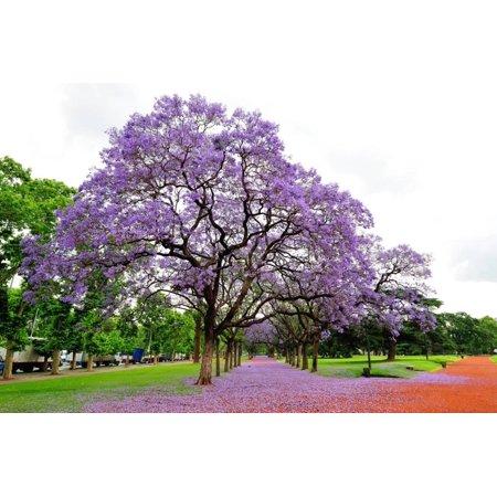 Jacaranda Tree (Jacaranda Mimosifolia), Buenos Aires City, Argentina, South America Print Wall Art By Pablo Cersosimo