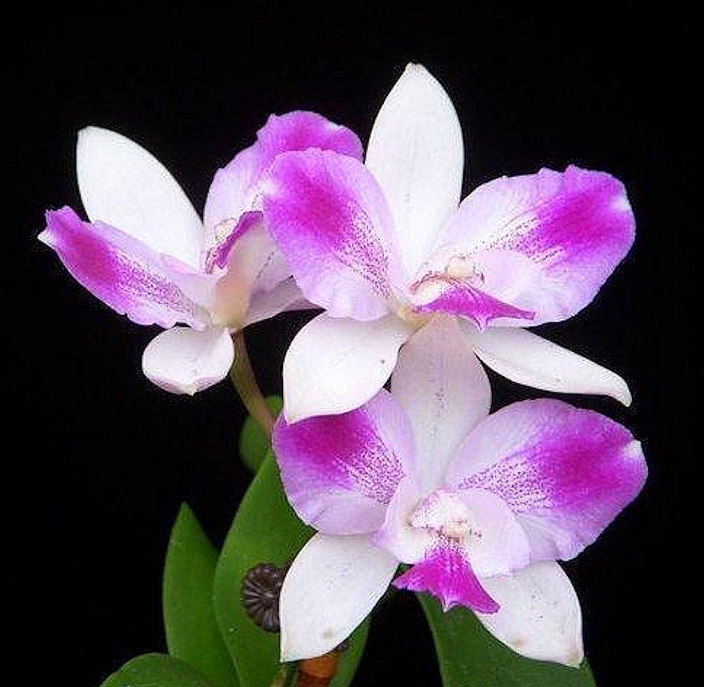 Orchid Ctna Ethels Paradise In Kalapana …….. Stock #113-1
