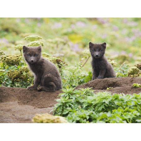 Two Young Arctic Foxes - Two Arctic Fox Kits Sitting Near Their Den St Paul Island Southwest Alaska Summer PosterPrint