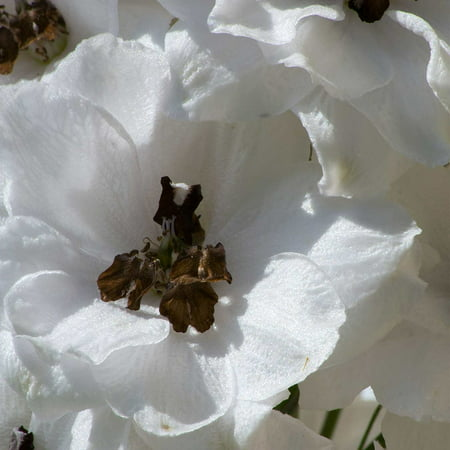 Delphinium Magic Fountain Series Flower Seeds - White White Bee - 1000 Seeds - Perennial Flower Garden Seeds - Delphinium elatum, - Magic.., By Mountain Valley Seed Company Ship from US - Bee Magic