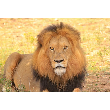 LAMINATED POSTER Lion Africa Nature South Africa Safari Wildlife Poster Print 24 x