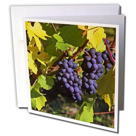 3dRose Oregon, Willamette Valley. Pinot noir vineyard - US38 BJA0224 - Jaynes Gallery - Greeting Cards, 6 by 6-inches, set of