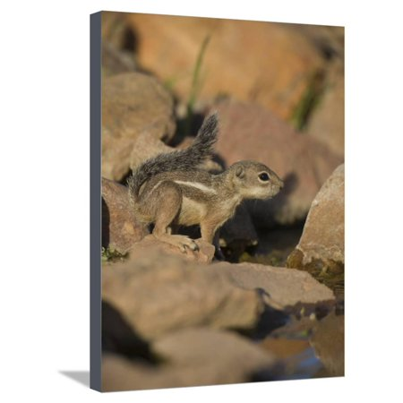 Harris Antelope Squirrel Stretched Canvas Print Wall Art By Jack Michanowski
