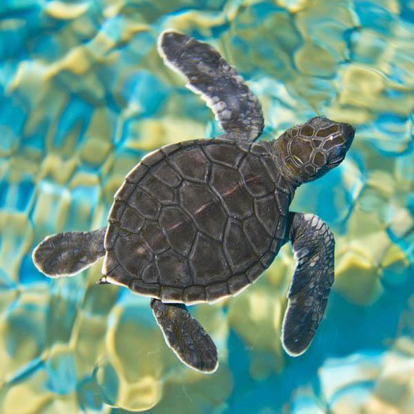 Zen Art & Design Artisanal Wooden Jigsaw Puzzle, Mosaic Sea Turtle , Medium by Zen Art & Design