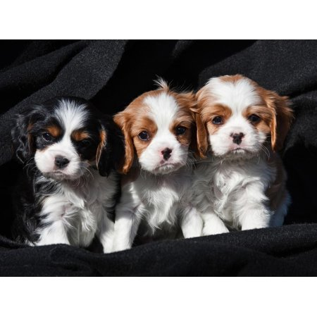 Three Cavalier King Charles Spaniel Puppies Sitting in a Row with Black Background Print Wall Art By Zandria Muench