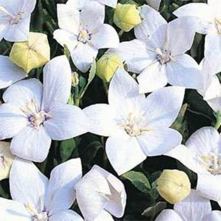 Outsidepride Balloon Flower White   2000 Seeds