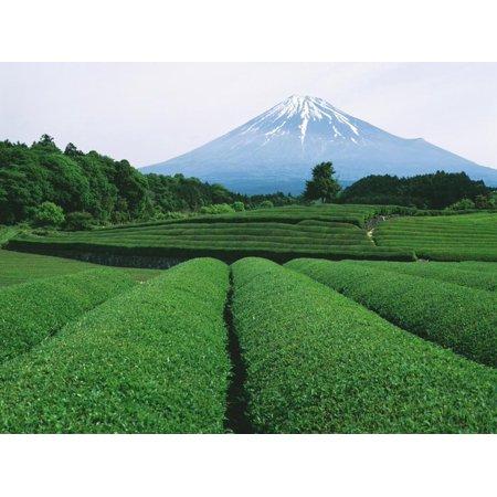 Mt. Fuji from tea plantation, Fujinomiya city, Shizuoka prefecture, Japan Print Wall Art](Party City Plantation)