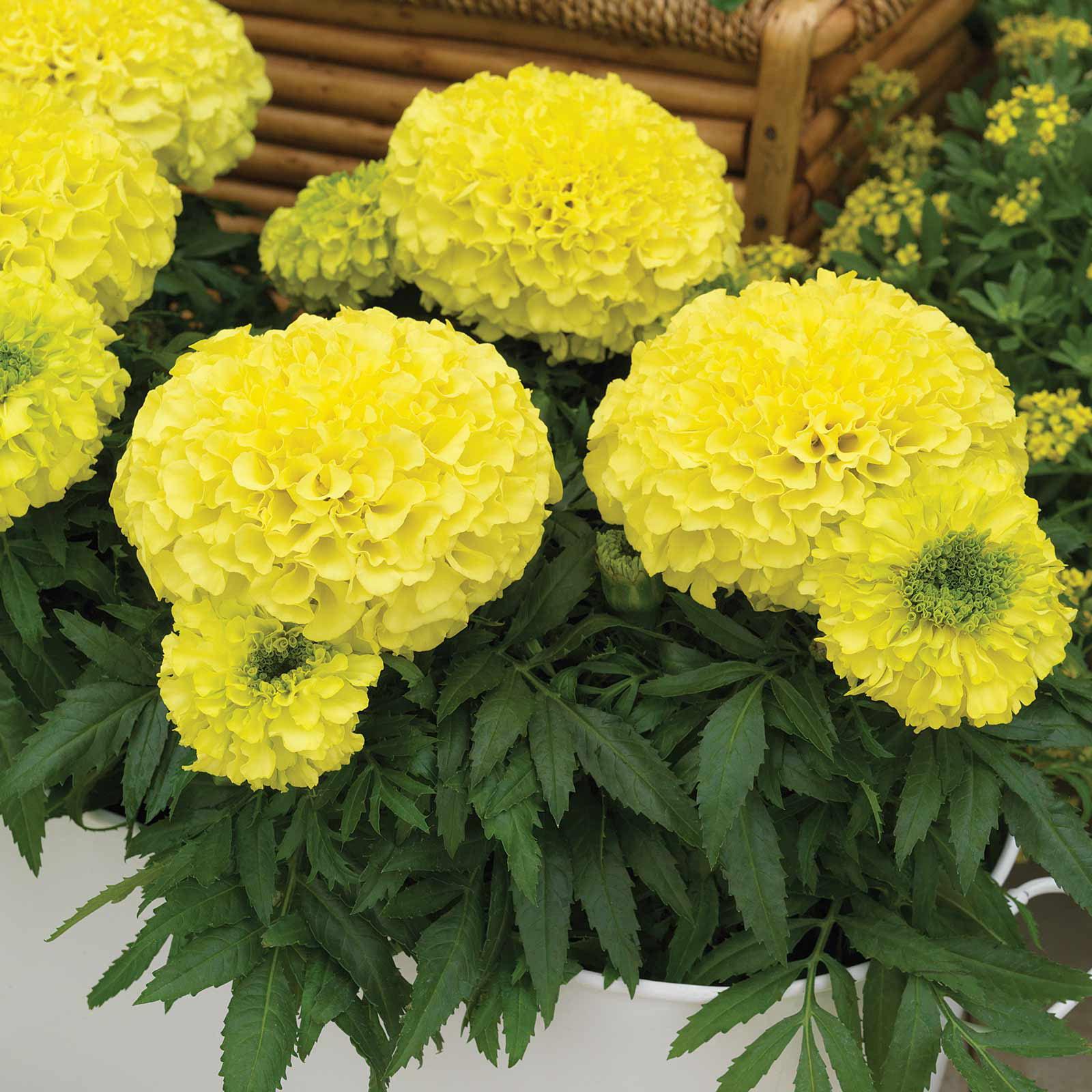 African Marigold Flower Garden Seeds - Antigua Series F1 - Primrose - 100 Seeds - Annual Flower Gardening Seeds - Tagetes erecta