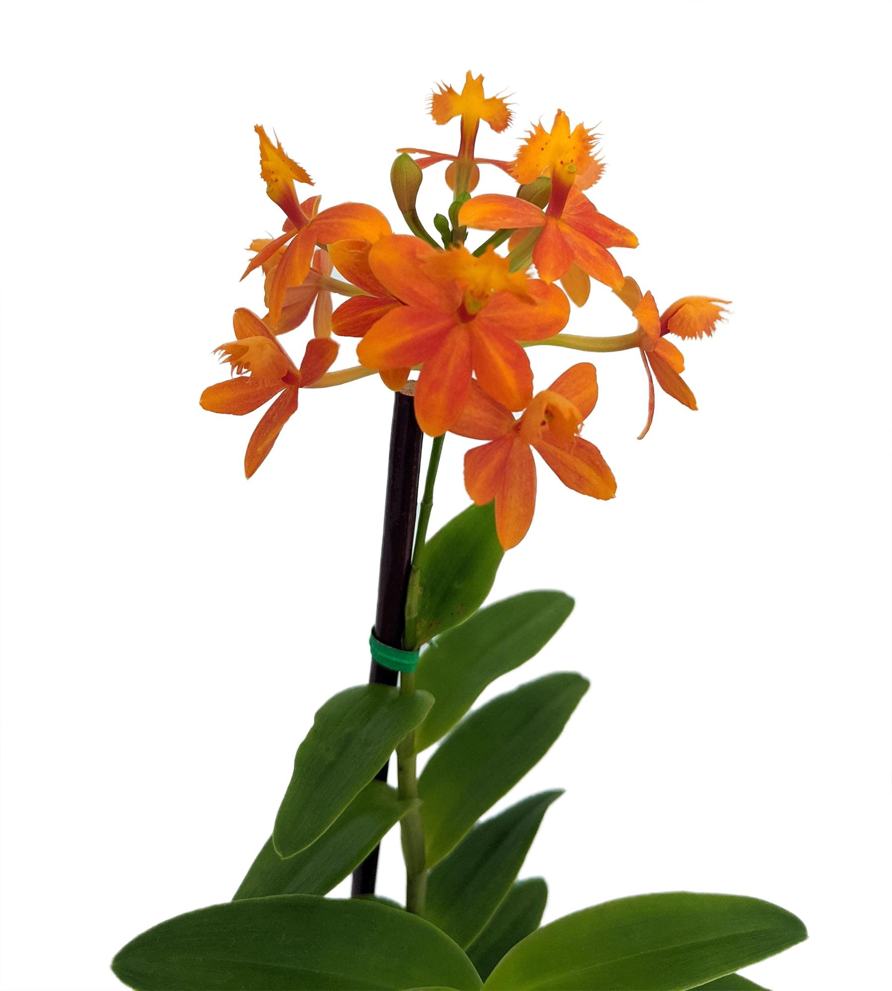 Firestar Orchid One Ounce Custom Color