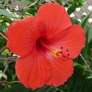 4 HAWAIIAN RED HIBISCUS PLANT CUTTINGS ~ GROW HAWAII