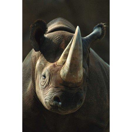 Black Rhinoceros portrait native to Africa Poster Print by San Diego Zoo