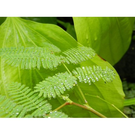 Fern Rosa Polypody Leaf Foliage Drops A Drop Of Poster Print 24 x 36