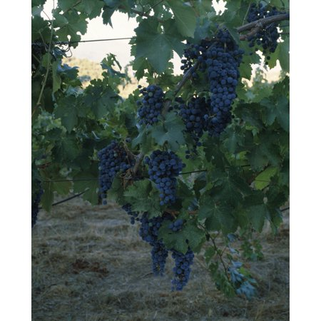 Merlot Grapes on a vine Napa Valley California USA Poster Print