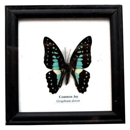 Real Collections Finish - Insectfarm Framed Real Beautiful Common Jay Butterfly Specimen Collection Display Insect Taxidermy