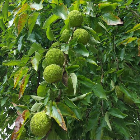 Hedge Apples Osage Oranges Maclura Pomifera by Chrisman Mill Farms, Pkg. of 9 to 12 (Med Flat Rate Box Full)