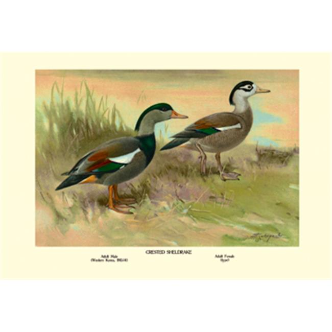 Buy Enlarge 0-587-08671-8P20x30 Crested Sheldrake Ducks- Paper Size P20x30