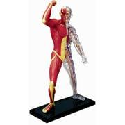 Human Muscle and Skeleton Anatomy Model