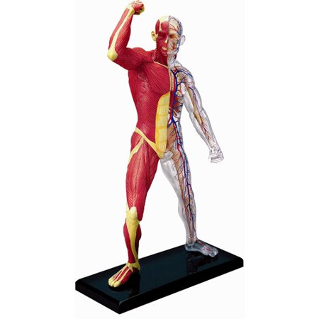 Human Muscle and Skeleton Anatomy Model