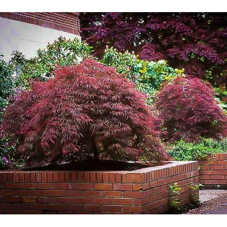 Red Dragon Japanese Maple - Live Plant - ( TG )