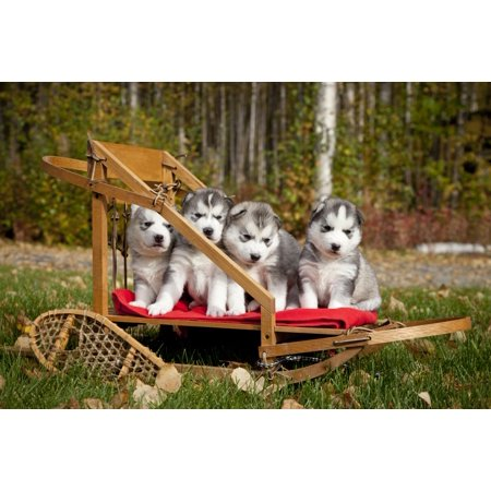 Pure Bred Siberian Husky Puppies In Small Wooden Dog Sled Alaska Poster Print 8