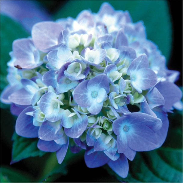1 Gal The Original Endless Summer Hydrangea Pink Or Blue