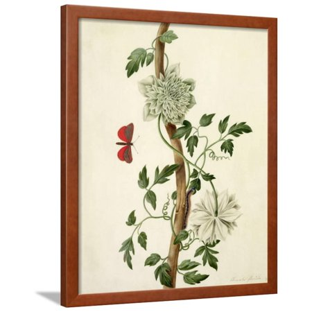 - Clematis Florida with Butterfly and Caterpillar (Gouache over Pencil on Vellum) Framed Print Wall Art By Matilda Conyers