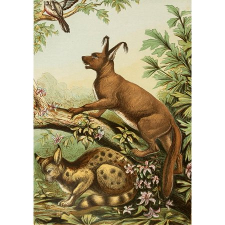The Royal Natural History c1881 Caracal & Lynx Poster Print by Unknown