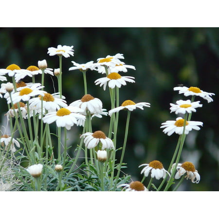 Marguerite Daisy - Peel-n-Stick Poster of Argyranthemum Frutescens Tree Daisy Marguerite Poster 24x16 Adhesive Sticker Poster Print