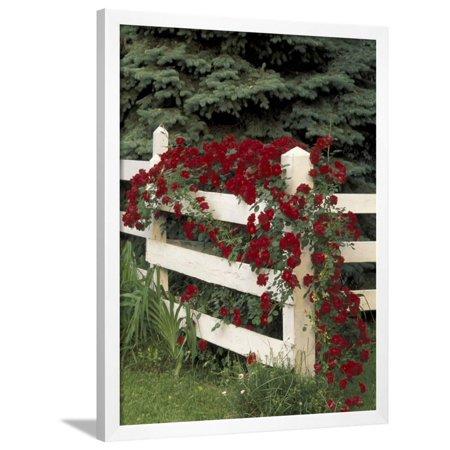 Roses on White Wooden Fence, Louisville, Kentucky, USA Framed Print Wall Art By Adam Jones](Wooden Roses Usa)