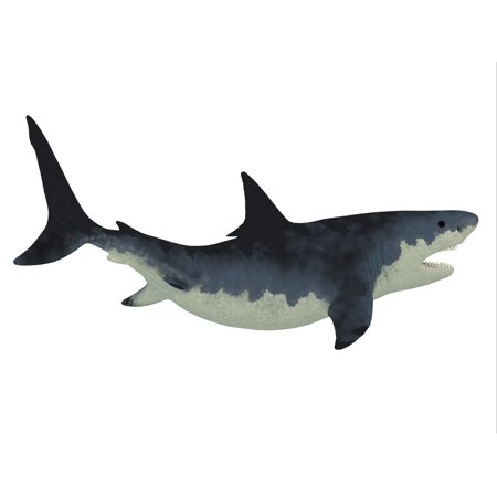 Megalodon shark was very much like our Great White shark but a much larger size with razor sharp teeth Poster Print