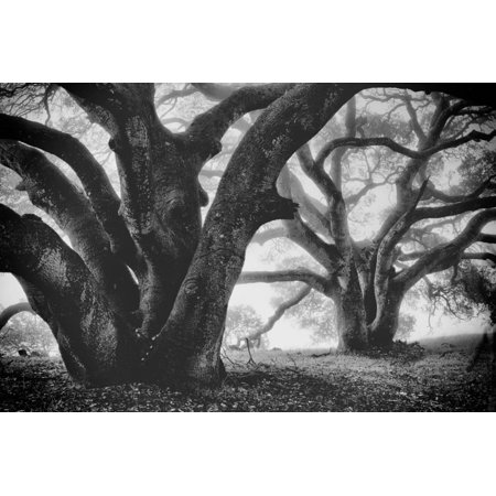 Dual Winter Oaks in Black and White, Mist Fog and Trees, Petaluma, Bay Area Print Wall Art By Vincent (Best Trees For Bay Area)