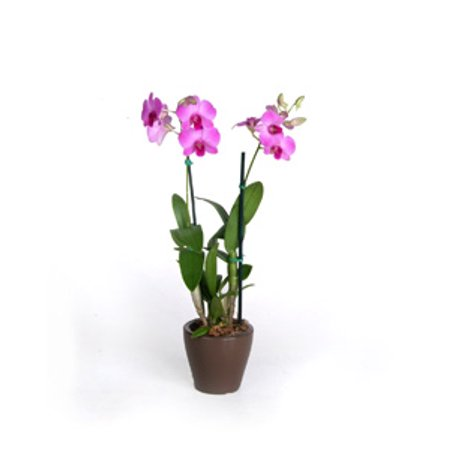 Image of Hawaii Live Plants 4in Dendrobium Orchid Plant